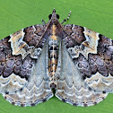 Northwestern Phoenix Moth
