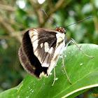 Skiper butterfly