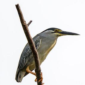 Striated Heron (Butorides striatus) by BoonHong Chan - Animals Birds ( bird )