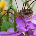 Harvester Spider