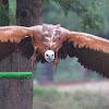 Grifo,Griffon Vulture
