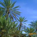 The date palm - نخيل البلح