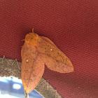 Orangestriped Oakworm Moth