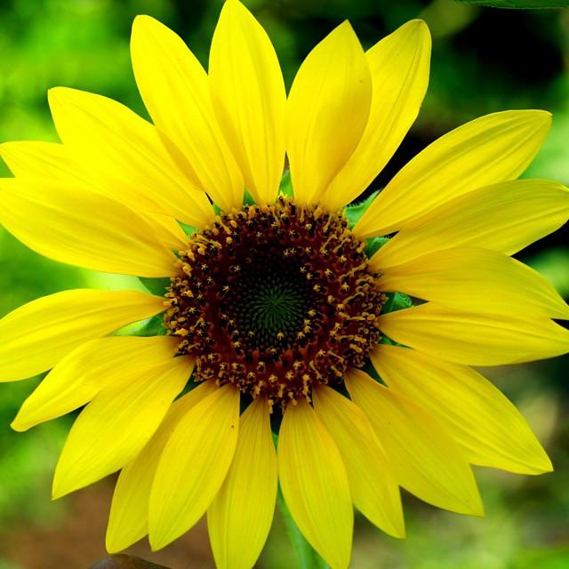 Sun Flower by Bimo Aldhy Syahfiputro - Instagram & Mobile Instagram ( focusumm )