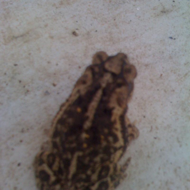 Gul Coast Toad