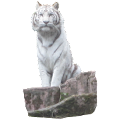 White Tiger Sitting Sticker
