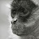 Mono araña / spider monkey