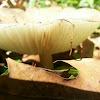 Megacollybia rodmani