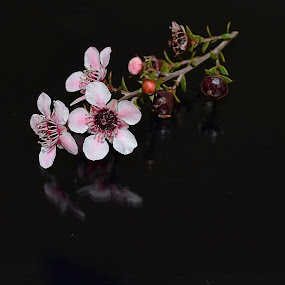 Flower Reflection by Ed Hanson - Flowers Tree Blossoms ( macro, pink, sprig, buds, flower )