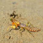 Bush Panther Mantis