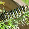 Anise Swallowtail Butterfly Caterpillar