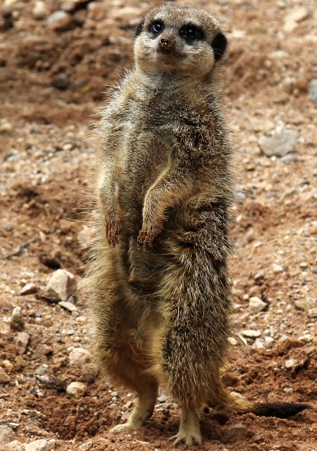 by Simon Barrassy - Animals Other Mammals ( meerkat )