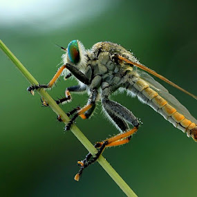 Robberfly with Dews by Edwin Yepese - Animals Insects & Spiders ( macro, animal )