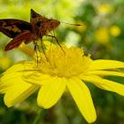 Dartlet Butterfly