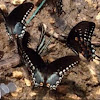 Spicebush Swallowtails