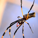 Red-legged golden silk orb-weaver