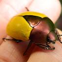 Leaf Chafer