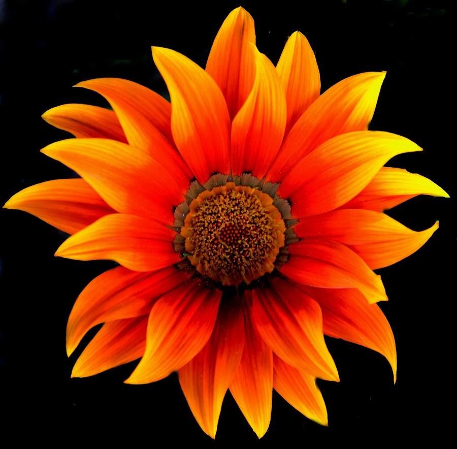 Gazania by Liliana Cordi - Flowers Single Flower ( luz, colors,  )