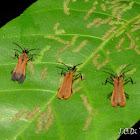 Net-winged Beetles