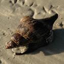 Tulip Snail