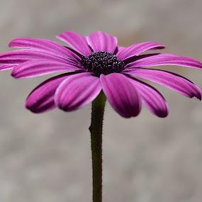 Good Morning Daisy by Ed Hanson - Flowers Single Flower ( macro, purple, nature, daisy, flower )