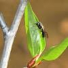Cimbicid sawfly