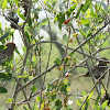House Finches (Pair)