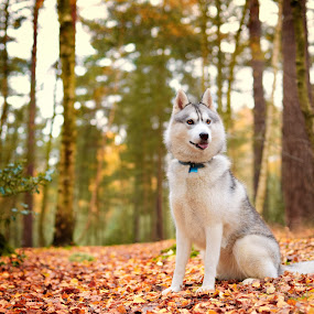San by Paweł Prus - Animals - Dogs Portraits ( intelligent, almond, breed, canis, wood, pull, show, harsh, sled, siberia, colour, autumn, family, icee, husky, grey, working, coat, sibe, spitz, white, forest, siberian, woods, portrait, color, female, pet, lupus, sibirsky, ears, active, brown, bitch, dense, dog, nose, shaped )