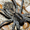 Carolina wolf spider with spiderlings