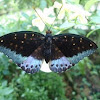 The Archduke Butterfly