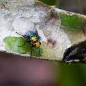 Yellow-headed Snail Parasitic Blowfly