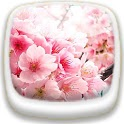 Cherry Blossom★ Wallpaper 03 icon