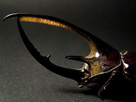 Neptunus beetle