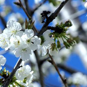 White beauty  by Suaib Akhter - Flowers Flower Buds ( white flower, spring flower, ilkbahar )