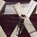 NZ giant bush dragonfly, Kapowai