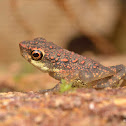 Guenther's Dwarf Toad