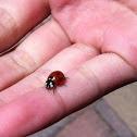 Sevenspotted ladybug