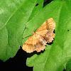 Scallop Moth