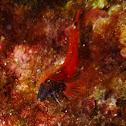 Red-black triplefin. Moma