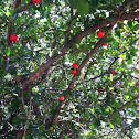 Amarena cherry