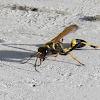 Black and Yellow Mud Dauber