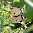 butterflyPlain Tiger