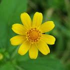 Boton de oro/Butter daisy