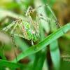 Green Lynx Spider(Female)