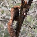 Red Squirrel; La Ardilla roja