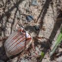 Cockchafer - Escarabajo sanjuanero