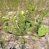 Prickly pear cactus (aka) -(nopal)