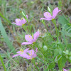 Meadow Pink, Prairie Rose-gentian, Texas Star
