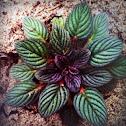 Silver leaf Phacillia