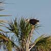 Northern Crested Caracara